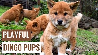 Cheeky Dingo Puppies Howling Compilation