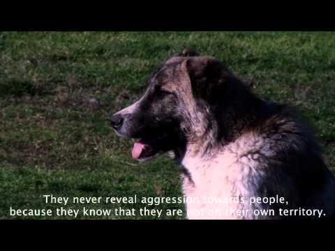 კავკასიური ნაგაზი - The Caucasian(Georgian)Shepherd Dog
