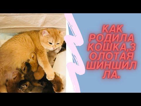 Вопрос: Британская серебристая шиншила. Что известно об этой породе кошек?