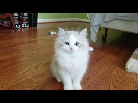 RagaMuffin Kittens - Kaerik Rags