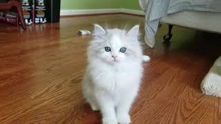 Kaerik RagaMuffin Kittens  Kaerik Rags  www.kaerikrags.com