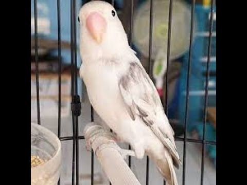 Love Bird Ngekek Sambil Minta Kawin