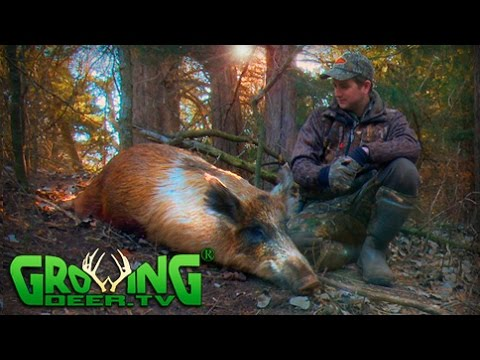 Hunting Wild Hogs In Oklahoma (#325) @GrowingDeer.tv