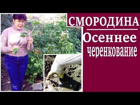 Черная смородина осенью.Размножение  смородины черенками
