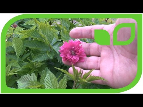 Raspberry Salmonberry 'Olympic Double' and 'Pacific Rose'