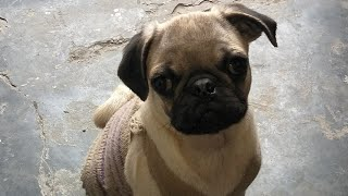 Pug puppy one and half months Old, hutch dog, Vodafone pug dog, friendly dog