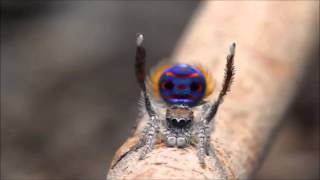 Peacock Spider - Taylor Swift -