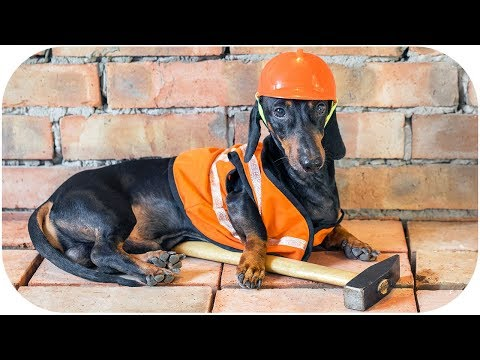Best contractor ever! Funny dachshund dog video!