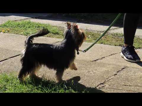 Logen - Yorkshire Terrier Puppy for sale