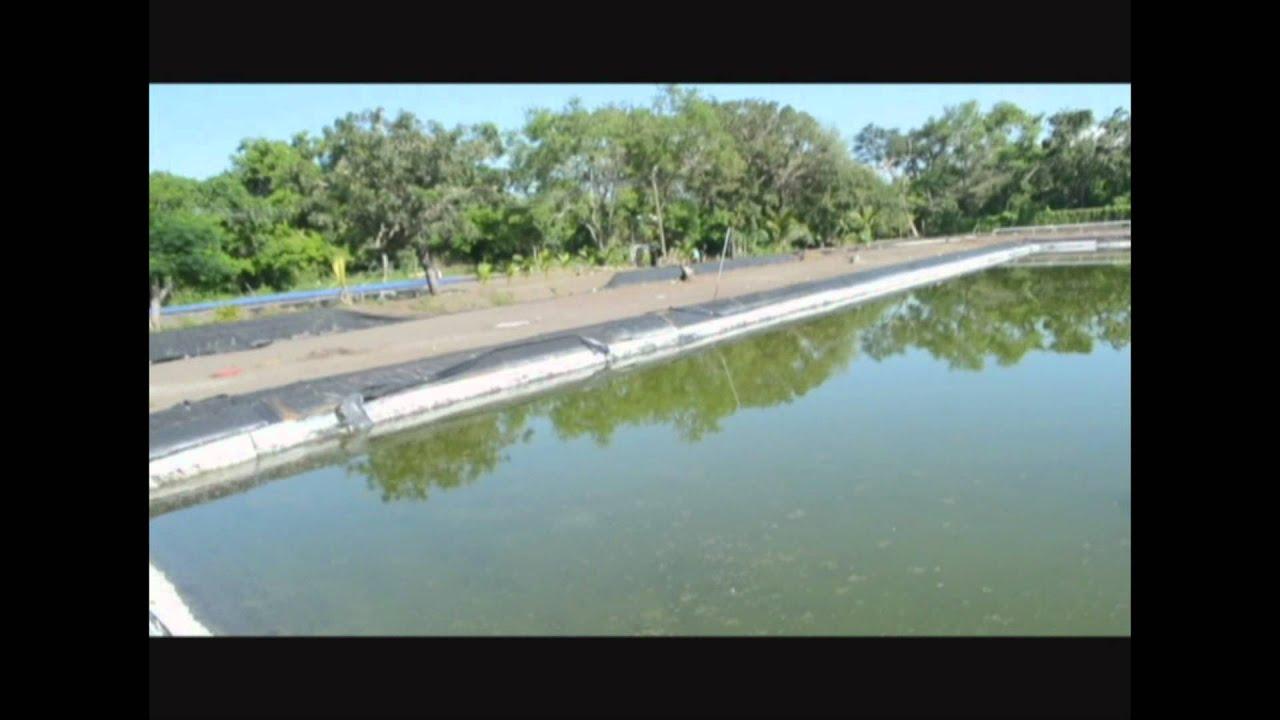Cultivo de camaron cema monterrico guatemala youtube for Como cultivar tilapia en estanques