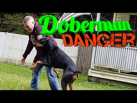 Dangers of Doberman Pinscher Adoption - Clickbait at it's finest Kruz the Doberman