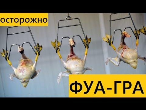 Как выращивают гусей для фуагра видео