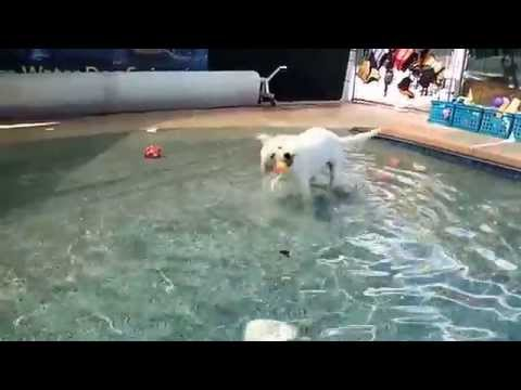 5 month old Labrador Great Pyrenees mix PUPPY parvo virus survivor Lacy's first swim session