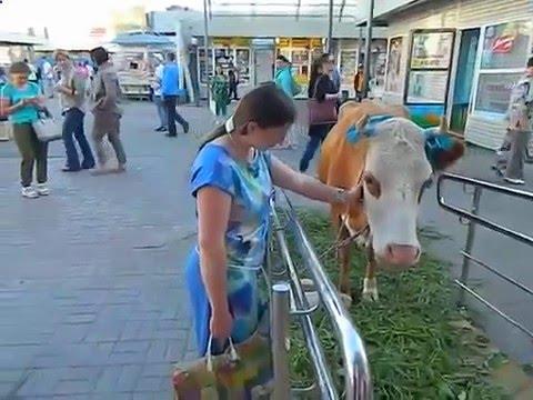 Купить корову в Москве на авито 8(916)702-11-08