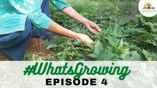 #WhatsGrowing | Episode 4 [05.06.2020] #virtualtour #aanandaatour