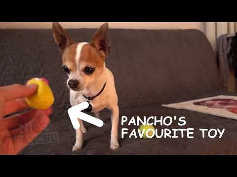 Chihuahua Pancho's favourite toy
