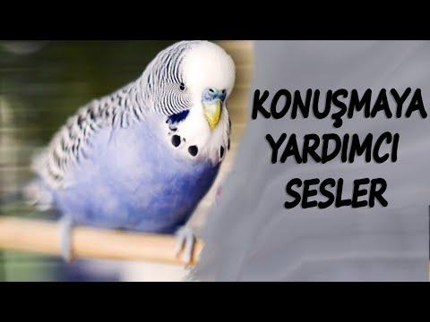 » KESİN KONUŞACAK « %100 Etkili Eğitim Sesi ! Muhabbet Kuşu Konuşturma Sesi √ indir