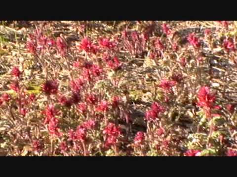 Indian Paintbrush Springtime Flower.wmv