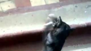 Битва титанов: кошка vs крыса