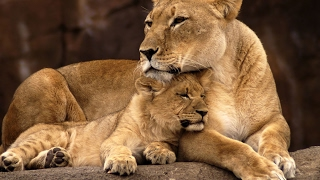 Live: National Geographic Animals, Animal Documentary BBC 2018, Hyenas attack Lions...