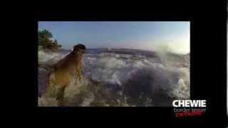 Hd - Extrait De Chewie Le Border Terrier Saute Et Surf Dans Les Vagues / Wave Surfing - Gopro 240fps