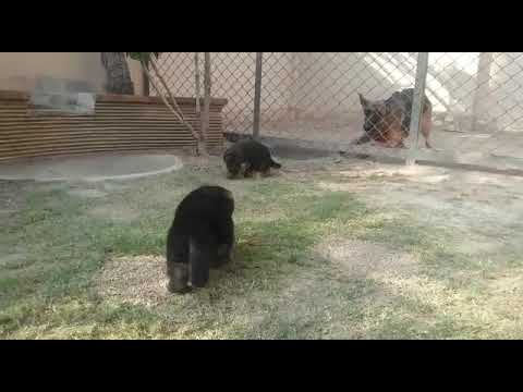 World Champion Bloodline Non Pedigree German Shepherd Puppies in DHA Lahore