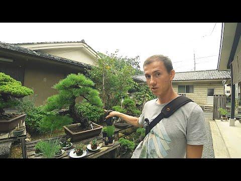 Дерево по цене автомобиля| Киото| Япония| Серия 18