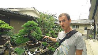 Куда водят туры в Японию. Дерево по цене автомобиля  Киото  Япония