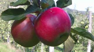 Jabolka - Idared