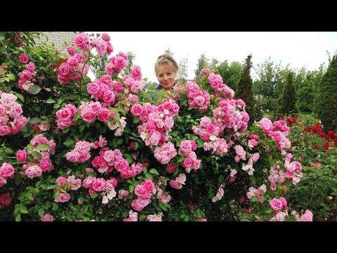 Обрезка плетистых роз Сорта Элен, Лагуна и Лавиния