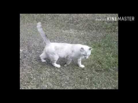 AMERICAN CURL SHORT HAIR CAT'S#Si curLy 😍 #sicumi2&friends😘#curL#cat's