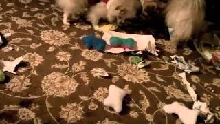 Doggy Christmas 2012: Pomeranians (and 1 Mutt) Open Presents