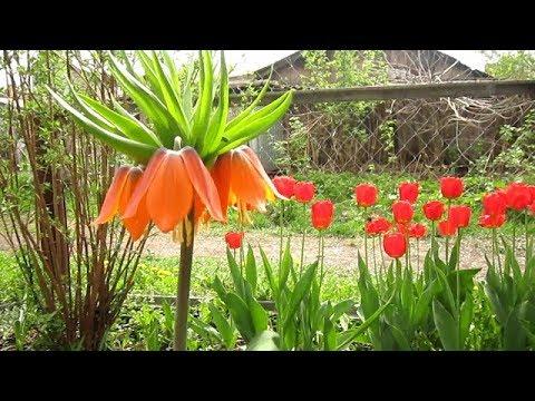 Ранние цветы, для непрерывного цветения сада, цветущие после первоцветов