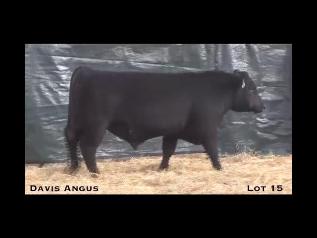 Davis Angus Lot 15