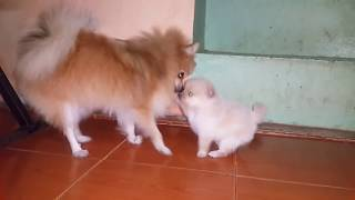Cute Pomeranian Mom and Pup playing 2gether Tiny and Sweet