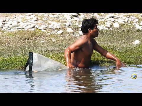 Fisherman caught large tilapias (!) Of small lagoon with net