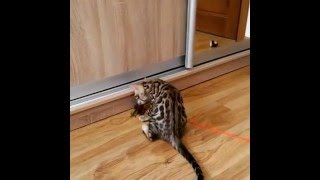 бенгальский кот. - питомник кошек Lantana Fly  - бенгальские котята