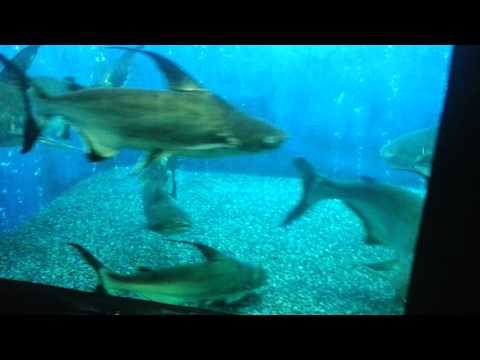 A Beautiful Shark Catfish Aquarium Tank