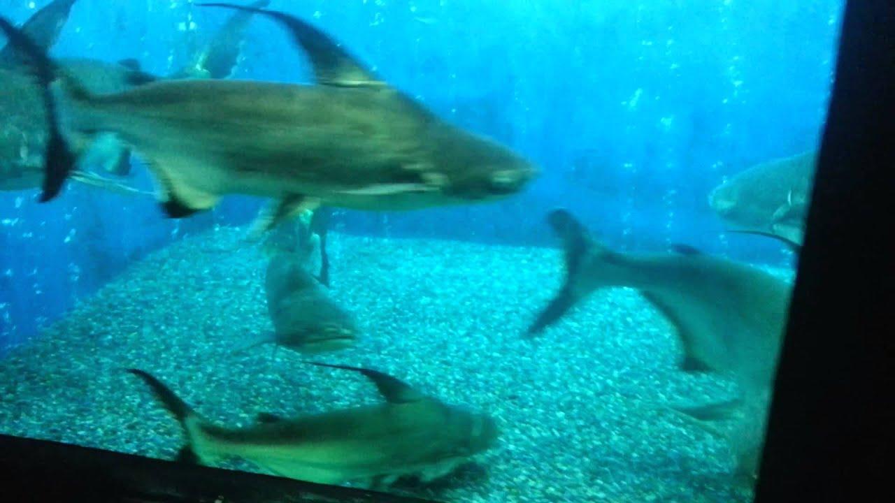 A Beautiful Shark Catfish Aquarium Tank YouTube