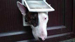 English Bull Terrier - Bodger - Slideshow - New Pics