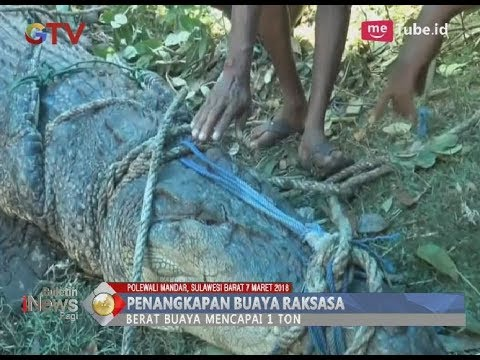Geger!! Warga Polewali Mandar Tangkap Buaya Raksasa Saat Memangsa Ikan - BIP 08/03