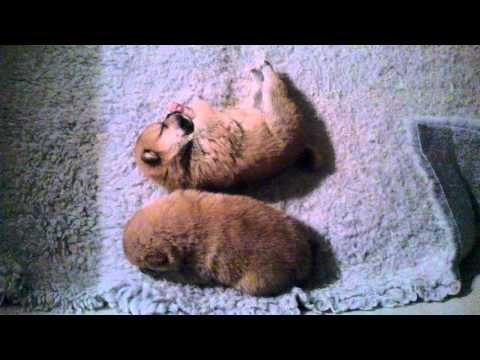 Litter A puppy shiba inu 2 weeks old