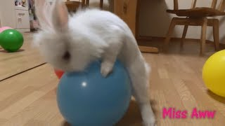 White Rabbit Humping Balloons - FUNNY VIDEO