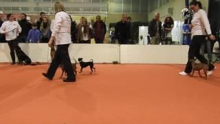 ドイツ原産の犬 Schnauzer (シュナウザー)とPinscher(ピンシャー)の...