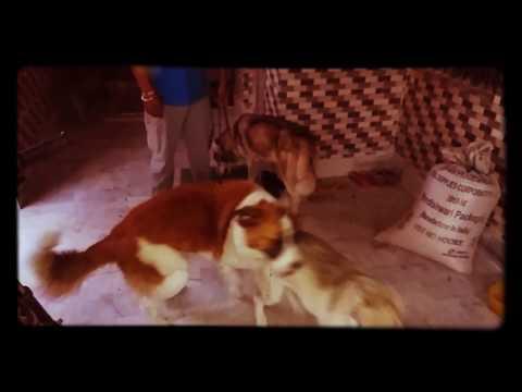 Saint Bernard dog fight with Siberian Husky
