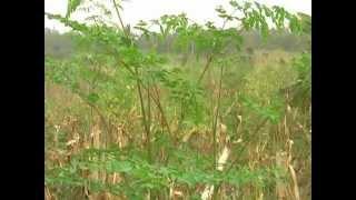 Moringa Farm in Ghana from Ghanaoils Mavis Asigre