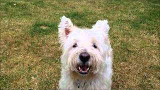 How to stop a Westie from barking!