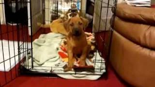 Crate Training The Puppy Nia A 9 Week Old Rhodesian Ridgeback