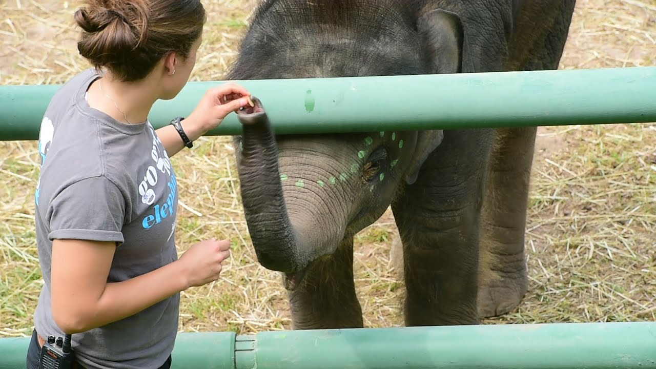 Asian Elephant Extravaganza at Rosamond Gifford zoo YouTube