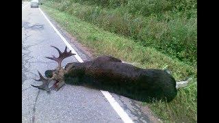 18+ Как зоозащитники не дали добрать сбитого лося, а сами увезли его и бросили умирать!